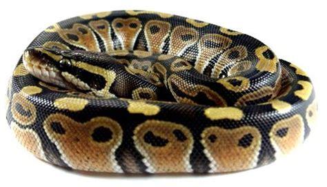 alimentazione pitone reale sivae python regius pitone reale