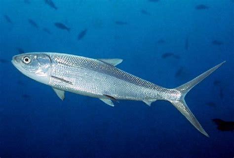 nama nama ikan laut dan gambarnya terlengkap nama nama hewan