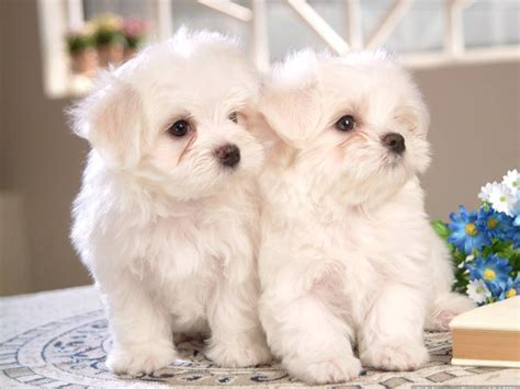 baby maltese puppies baby maltese puppies