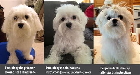 grooming maltese face teddybear face page 3 maltese dogs forum spoiled