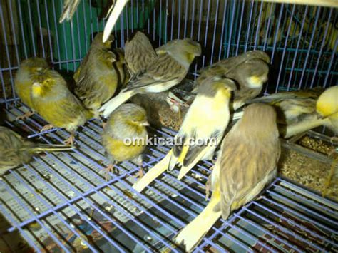 Sarang Burung Finch Kenari Dan Sejenisnya nano canary jakarta konsisten sediakan aneka kenari dan burung finch impor klub burung