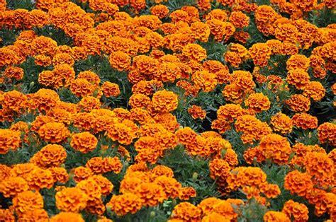imagenes de flores de muertos abastecen floricultores demanda de la quot flor de muerto