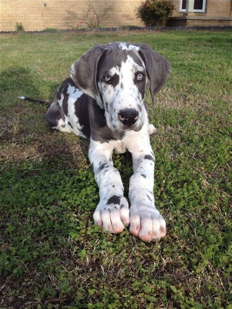blue merle great dane puppies 1000 ideas about harlequin great danes on blue merle great dane great