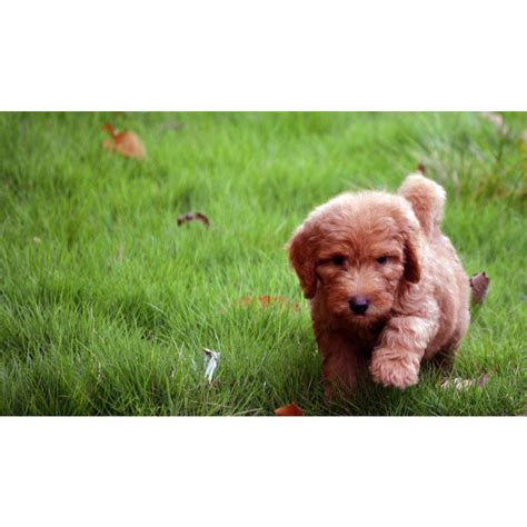 goldendoodle puppies for sale south carolina puppies for sale goldendoodle goldendoodles mini