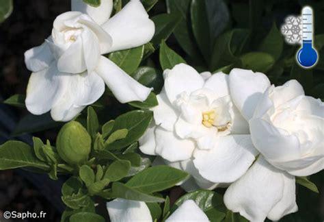 fiori di gardenia arriva la gardenia che resiste fuori al gelo fiori e foglie