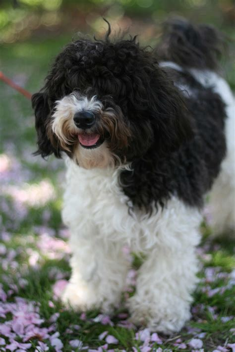 dogs havanese havanese breed 187 information pictures more