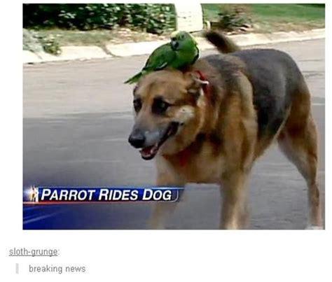 Know Your Meme Dog - parrot rides dog parrots know your meme