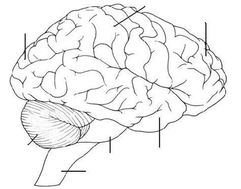 brain anatomy coloring sheets coloring pages