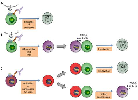 immune tolerance induction wiki frontiers boosting regulatory t cell function by cd4 stimulation enters the clinic immunology