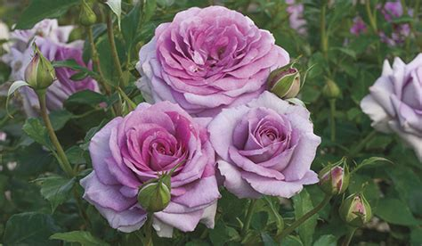 weeks roses wholesale rose grower