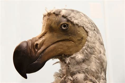 what can a bird do in photos the flightless dodo bird