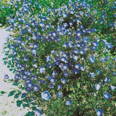 Gartengestaltung Mit Gräsern 3430 by Karpaten Glockenblume Canula Carpatica Blaue