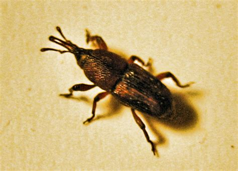 grain weevil what s that bug