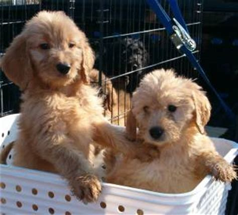 golden retriever poodle mix breeders goldendoodle guide