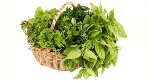 come curare il basilico in vaso giardinaggio piante aromatiche vasi e coltivazione eco