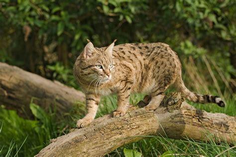 asiatische bilder cats the wildcat kimcion
