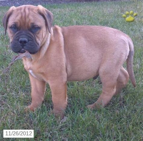 bullmastiff puppies for sale in pa 49 best images about bullmastiff puppies on barking pets and 7 months
