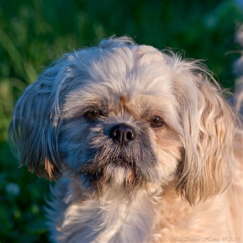 lhasa apso mix shih tzu vera lhasa apso shih tzu mix she 180 ll puppies in a