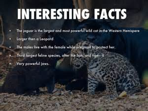 Interesting Jaguar Facts Black Jaguar By Daleia
