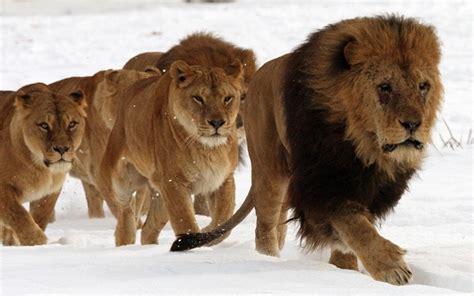 imagenes manada leones imagenes de leones abril 2013