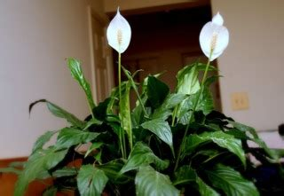 spathiphyllum entretien soins