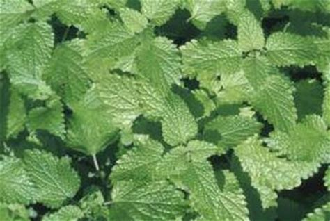 can dogs mint toxic to dogs and cats plants foods and herbs