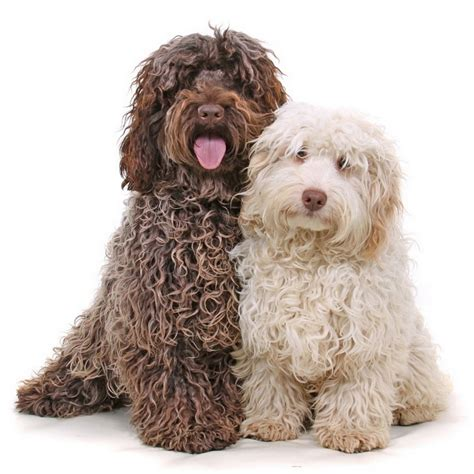cockapoo dogs cockapoo puppies facts pictures breeders price temperament animals adda