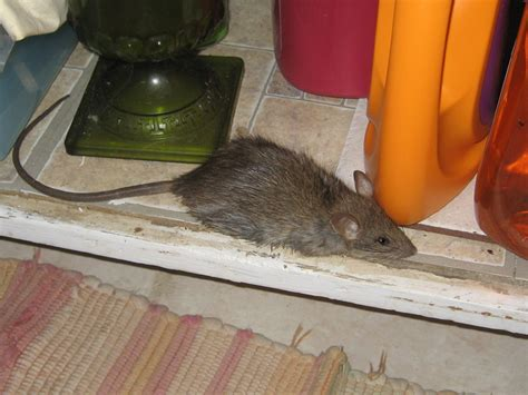 Rat In House What Do Do How To Get Rats Out Of Your House