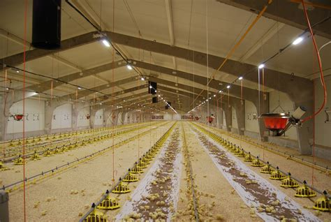 poultry house lighting systems poultry farm lithuania alesninkai enim