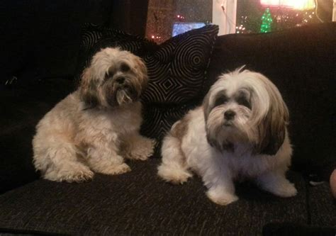 lhasa apso puppies for sale gorgeous lhasa apso puppies for sale breeds picture