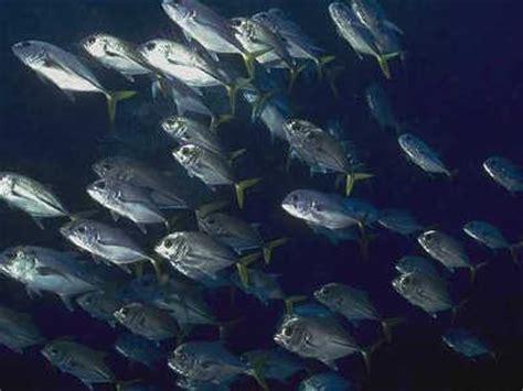 Cari Bibit Ikan Bawal perkembangan budidaya ikan bawal dunia bawal