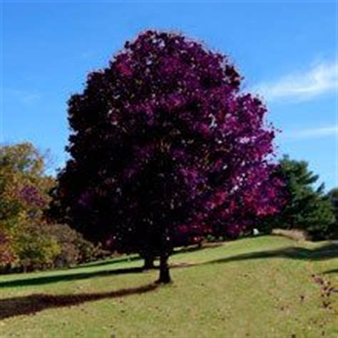 mosquito repellent tree silver dollar tree eucalyptus
