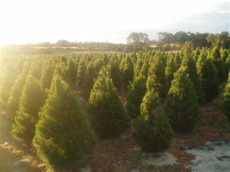 valley christmas tree farm perth
