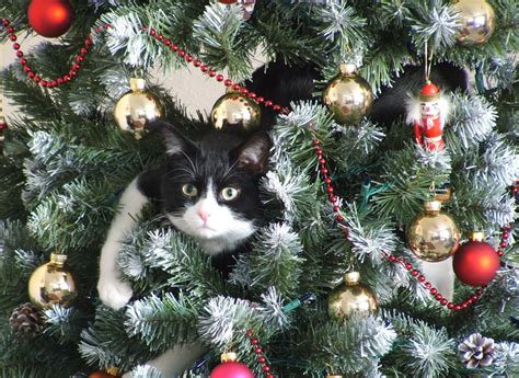 funny cats in christmas trees daily cat in tree a atheist
