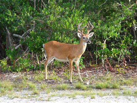 Gardenias by File Key Deer Male Jpg Wikimedia Commons