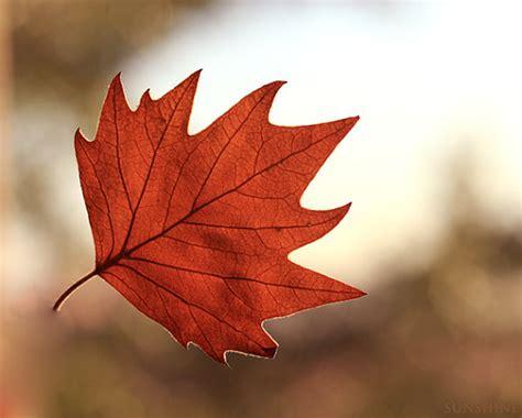 file maple leaf autumn jpg falling for autumn southwestdesertlover