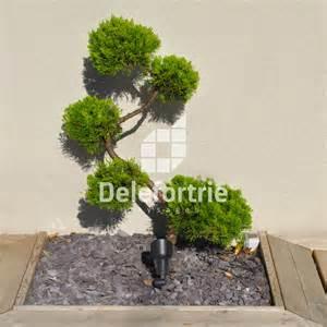 arbuste original au feuillage persistant pour terrasse