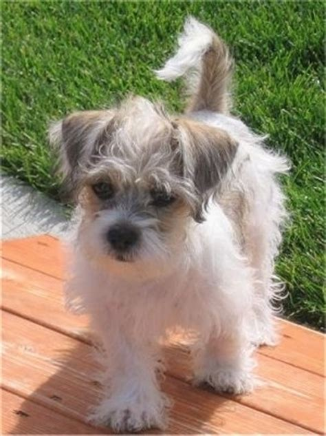 shih tzu terrier mix puppies fo tzu breed information and pictures