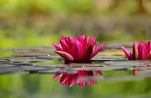 photo gratuite n 233 nuphar fleur fleurs image