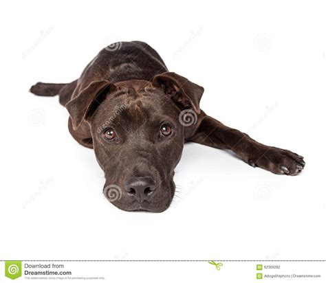 young crossbreed cute young brown labrador crossbreed laying stock photo