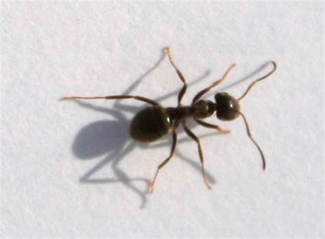 Big Black Ants In Kitchen by Black Ants With Wings Pictures To Pin On Pinsdaddy