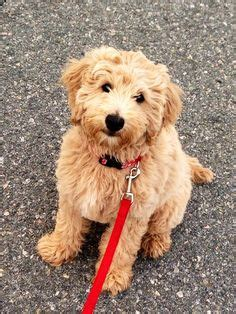 goldendoodle puppy eats everything goldendoodle a golden retriever with curly hair and no