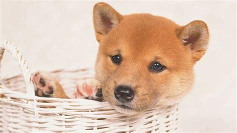 Tas Shiba Inu shiba inu raza de perro mascotas hogarmania