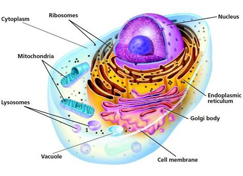 cross section of a animal cell cross section of an animal cell labeled 3 cross section