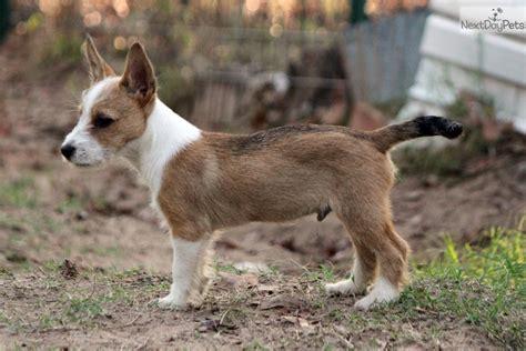 portuguese podengo puppies wart portuguese podengo puppy for sale near dallas fort worth 3b4ff825 24a1