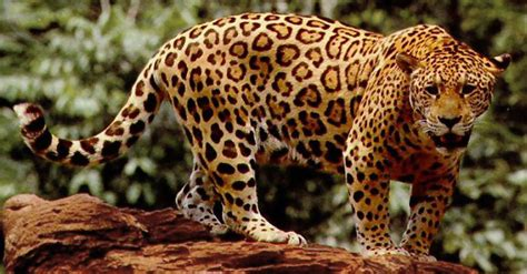 imagenes de animales jaguar el jaguar ya est 225 en peligro de extinci 243 n