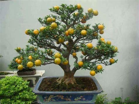 limone coltivazione in vaso bonsai limone curare bonsai coltivare il bonsai limone