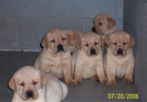 lab puppies for sale in sc labrador puppies for sale south carolina merry