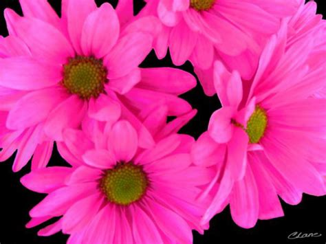 pink flower wallpaper hd for computer blue wallpaper