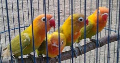 Multi Bird Pakan Burung Parrot jual lovebird kepala emas harga cuma 300rb burung 9